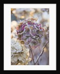 Frosty Flower Head Of Hydrangea Macrophylla 'altona' At The Rhs Gardens, Wisley, Surrey. Winter by Clive Nichols