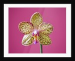 Close Up Of The Flower Of A Phalaenopsis Orchid by Clive Nichols