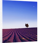 Field Of Purple Lavender Near Valensole, Provence, France, With Tree In The Background. Summer, July by Clive Nichols
