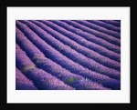 Field Of Purple Lavender Near Valensole, Provence, France. Summer, July by Clive Nichols