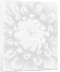 Black And White Close Up Image Of Dahlia Tiptoe (miniature Flowered Decorative) by Clive Nichols