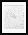 Black And White Close Up Image Of Dahlia Lemon Zing (miniature Ball) . Abstract, Pattern by Clive Nichols