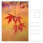 Westonbirt Arboretum, Gloucestershire - Autumn Foliage Of Acer Palmatum 'emperori' by Clive Nichols