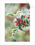 Highfield Hollies, Hampshire - Frosted Leaves And Red Berries Of Ilex Aquifolium 'alaska' by Clive Nichols