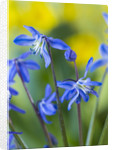 Close Up Of Blue Flowers Of Scilla Siberica ( Siberian Squill) Agm, Bulb by Clive Nichols