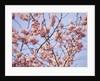 Rhs Garden, Wisley, Surrey: Pink Flowers Of Prunus Accolade by Clive Nichols