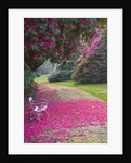 Tregothnan, Cornwall: White Bench Beneath Rhododendron 'russellianum' by Clive Nichols