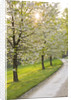 Cerney House Garden, Gloucestershire: Avenue Of Cherry Trees - Prunus, With White Blossom, Beside The Road. Spring by Clive Nichols