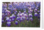 Iris Cayeux, France - Iris Fields - Iris 'overnight Sensation' And Iris 'pacific Mist' by Clive Nichols