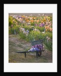 Iris Cayeux, France - Mixed Iris On Cart In Show Fields by Clive Nichols