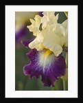 Iris Cayeux, France - Iris 'funambule' by Clive Nichols