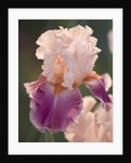 Iris Cayeux, France - Iris 'cherry Blossom Song' by Clive Nichols