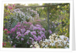 Andre Eve Rose Nursery, France: Pergola Festooned With Roses In Early Morning Light: Rosa 'fee Des Neiges', Rosa 'pink Prosperity', Rosa 'fritz Nobis', Rosa 'baronne Louise Velge' by Clive Nichols
