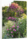 Andre Eve Rose Nursery, France: Pergola With Rosa 'pink Cloud' And In Front Is Rosa 'roville' And Rosa 'belle Au Bois Dormant' by Clive Nichols