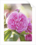 Andre Eve Rose Nursery, France: Rose - Close Up Of The Pink Flower Of Rosa 'la Ville De Bruxelles' by Clive Nichols