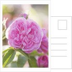 Andre Eve Rose Nursery, France: Rose - Close Up Of The Pink Flower Of Rosa 'la Ville De Bruxelles' by Clive Nichols