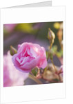 Andre Eve Rose Nursery, France: Rose - Close Up Of The Pink Flower Of Rosa 'ornament Des Bosquets' by Clive Nichols