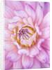 Rhs Garden, Wisley, Surrey: Close Up Of The Flower Of Dahlia Veracruz by Clive Nichols