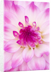 Rhs Garden, Wisley, Surrey: Close Up Of The Flower Of Dahlia Ace Summer Emotions by Clive Nichols