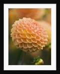 Rhs Garden, Wisley, Surrey: Close Up Of The Flower Of Dahlia 'blyton Softer Gleam' by Clive Nichols