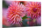 Rhs Garden, Wisley, Surrey: Close Up Of The Flower Of Dahlia 'oakwood Firelight' by Clive Nichols