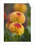 Rhs Garden, Wisley, Surrey: Close Up Of The Flower Of Dahlia 'oakwood Dazzle' by Clive Nichols