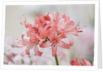 Rhs Garden, Wisley, Surrey: Close Up Of The Flowers Of Nerine 'regulus' by Clive Nichols