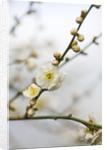 Cambridge Botanic Garden, Cambridgeshire: Winter - Blossom Of Prunus Mume Omoi-no-mama by Clive Nichols