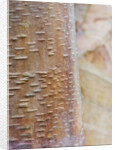 Cambridge Botanic Garden, Cambridgeshire: Winter - Bark Of Betula Albosinensis Var 'septrionalis' by Clive Nichols