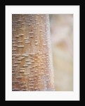 Cambridge Botanic Garden, Cambridgeshire: Winter - Bark Of Betula Albosinensis Var 'septrionalis' by Clive Nichols