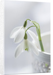Close Up Of Snowdrop- Galanthus 'mrs Thompson' In A White Container : Styling By Jacky Hobbs by Clive Nichols