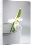Close Up Of Snowdrop- Galanthus 'ronald Mackenzie' In White Container : Styling By Jacky Hobbs by Clive Nichols