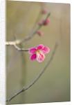 Hodsock Priory, Nottinghamshire: Pink Spring Blossom Of Prunus Mume Beni - Chidori by Clive Nichols
