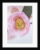 Trehane Nursery, Dorset: Close Up Of The Flower Of Camellia Bybrid 'blissful Dawn' by Clive Nichols