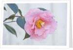 Trehane Nursery, Dorset: Close Up Of The Flower Of Camellia 'lasca Beauty' by Clive Nichols