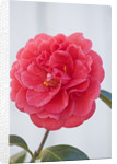 Trehane Nursery, Dorset: Close Up Of The Flower Of Camellia Reticulata 'harold Paige' by Clive Nichols