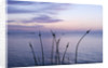 Herm Island, Channel Islands - Alliums At Dawn On The North Coast by Clive Nichols