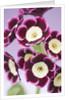 W & S Lockyer Auricula Nursery -  Auricula 'dawn' by Clive Nichols