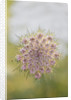 Painswick Rococo Garden, Gloucestershire: Close Up Of Umbellifer In The Meadow by Clive Nichols