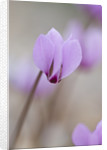 Close Up Of The Pink Flower Of Cyclamen Cilicium by Clive Nichols