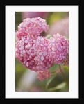 The Pink Flowers Of Hydrangea Arborescens 'invincible Spirit' by Clive Nichols