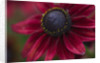 Close Up Of The Dark Red Flower Of Rudbeckia Hirta 'cherry Brandy' by Clive Nichols