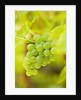 Sunnybank Vine Nursery, Herefordshire: Close Up Of The Grapes Of Vitis Vinifera 'himrod' - Seedless Grape by Clive Nichols