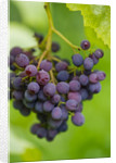 Sunnybank Vine Nursery, Herefordshire: Close Up Of The Grapes Of Vitis Vinifera 'gagarin Blue' by Clive Nichols