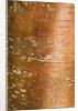 Stone Lane Garden, Devon: Winter - Bark Of  Betula Albosinensis by Clive Nichols