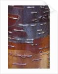 Stone Lane Garden, Devon: Winter - Close Up Of Bark Of Betula Utilis Var Yunnanensis by Clive Nichols