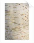 Stone Lane Garden, Devon: Winter - Close Up Of The Bark Of  Betula Raddeana by Clive Nichols