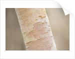 Stone Lane Garden, Devon: Winter - Close Up Of Bark Of Betula Utilis Ssp Jacquemontii - Himalayan Birch by Clive Nichols