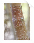 Stone Lane Garden, Devon: Winter - Close Up Of Bark Of Betula Utilis Ssp Jacquemontii - Himalayan Birch by Clive Nichols