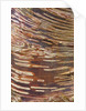 Stone Lane Garden, Devon: Winter - Close Up Of The Bark Of  Betula Ermanii by Clive Nichols